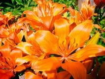 Blommar orange liljor i blom Royaltyfria Bilder