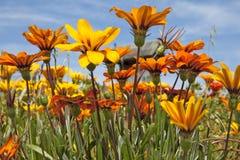 blommar orange wild Royaltyfri Foto