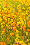 blommar orange yellow Arkivfoto