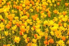 blommar orange yellow Fotografering för Bildbyråer