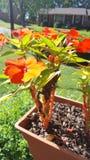 blommar orangen Royaltyfri Foto
