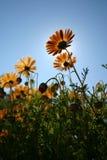 blommar orangen Arkivbild