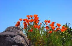 blommar orangen Royaltyfri Fotografi