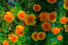 blommar orangen Royaltyfria Bilder