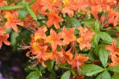 blommar orangen Arkivfoto