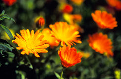 blommar orangen Royaltyfria Foton