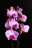blommar orchiden Royaltyfri Bild