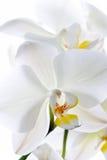 blommar orchiden Arkivbild