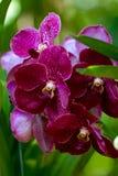 blommar orchiden Royaltyfria Bilder