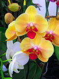 blommar orchiden Royaltyfri Foto