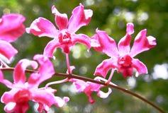blommar orchiden Fotografering för Bildbyråer