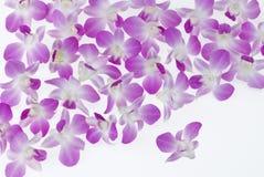 blommar orchiden singapore Arkivfoton