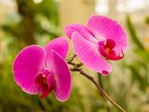 blommar orchidpink Arkivbild