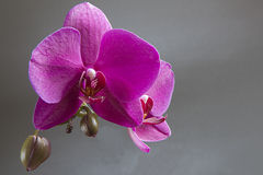 blommar orchidpink Royaltyfri Foto