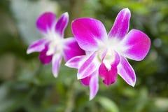 blommar orchidpurple Fotografering för Bildbyråer