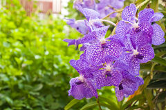 blommar orchidpurple Royaltyfria Bilder