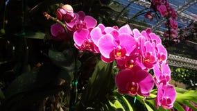 blommar orchidpurple Arkivbild