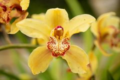 blommar orchidyellow Royaltyfria Foton