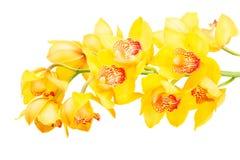 blommar orchidyellow royaltyfria bilder