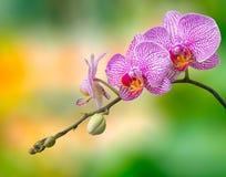 blommar orkidén på suddighetsbakgrund Arkivbilder