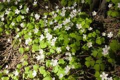 blommar oxalis Fotografering för Bildbyråer