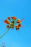 blommar påfågeln Royaltyfria Bilder
