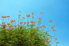 blommar påfågeltreen Fotografering för Bildbyråer
