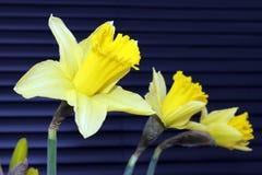 blommar påskliljayellow Royaltyfri Fotografi