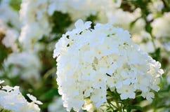 blommar paniculataphloxsommaren som Arkivfoto