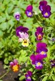 blommar pansies Arkivfoto