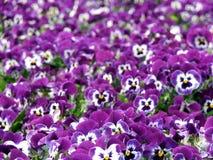 blommar pansies Royaltyfria Bilder