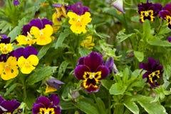 Blommar pansies i krukan, närbild Arkivfoton
