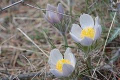 blommar pasque Fotografering för Bildbyråer