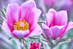 blommar pasque Arkivbild