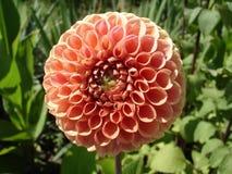 Blommar peachy rosa färger för bolldahlia 'Snoho Doris', Royaltyfria Bilder
