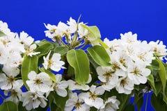 blommar pearen Fotografering för Bildbyråer