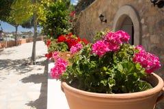 blommar pelargonpink Arkivbild