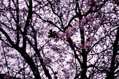 blommar persikan Royaltyfria Bilder