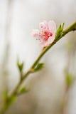 blommar persikan Arkivfoton