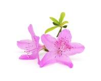 blommar persikapink Royaltyfria Bilder