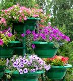 blommar petuniaen Royaltyfri Foto