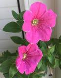blommar petuniapink Royaltyfri Fotografi