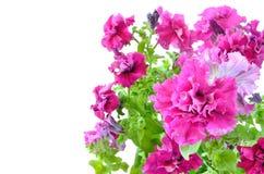 blommar petuniapink Royaltyfria Bilder