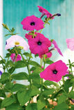 blommar petuniapink Royaltyfri Foto