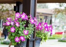 blommar petuniapink Royaltyfri Bild