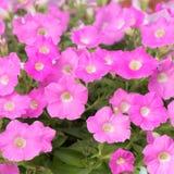 blommar petuniapink Arkivfoto
