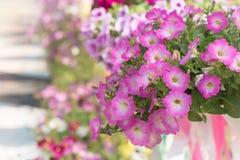 blommar petuniapink Arkivbilder