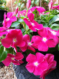 blommar petuniapink Arkivfoton