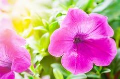 blommar petuniapink Royaltyfria Foton