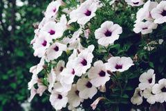 blommar petuniawhite Royaltyfria Bilder